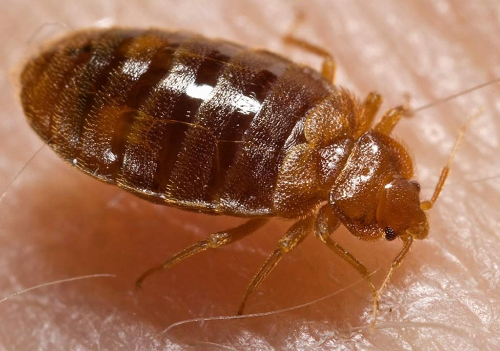 bed bug feeding Hamilton