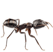 ant pest control Hamilton