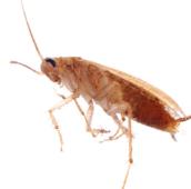 cockroach- pest control Hamilton