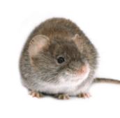 Mice Exterminator pest control Hamilton