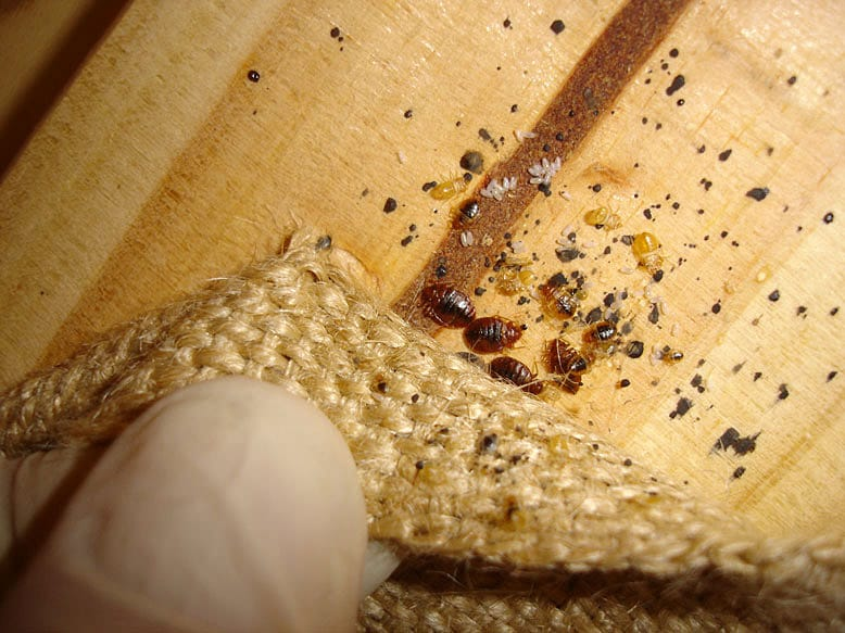 Bed-Bugs-In-Furniture-Pest-Control-Hamilton
