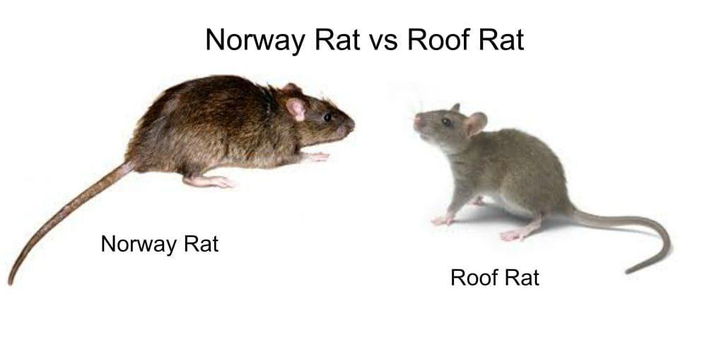 Roof-Rat-vs-Norway-Rat-Control-Hamilton