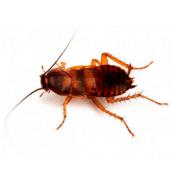 brown-banded-cockroach-control-Hamilton