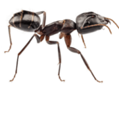 carpenter-ant-control-Hamilton