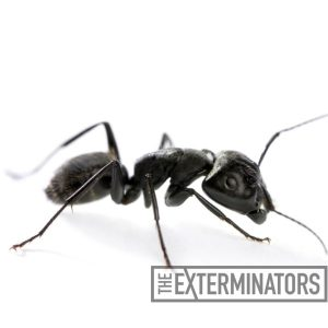 carpenter-ant-pest-control-hamilton