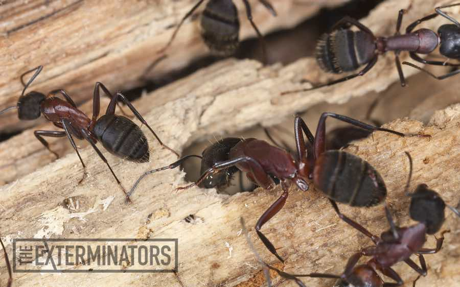 Carpenter Ant Exterminators Hamilton