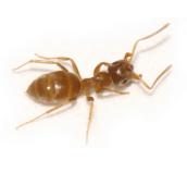 citronella-ant-control-Hamilton