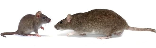 mouse-and-rat-pest-control-hamilton