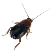 oriental-cockroach-control-Hamilton