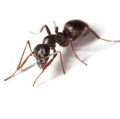 pavement-ant-control-Hamilton