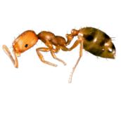 pharaoh-ant-control-Hamilton