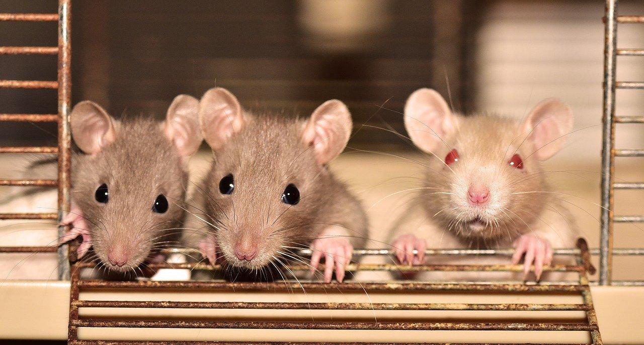 Can Rats Climb Up Walls?