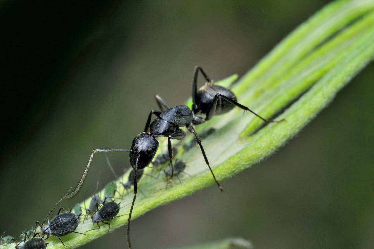 Carpenter Ants in the Attic