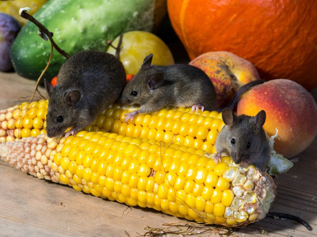 Do Mice Stay in an Area for a Long Time?