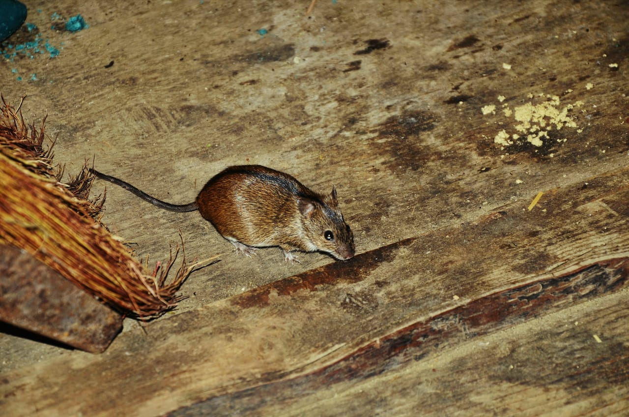 How to Clean Mouse Droppings