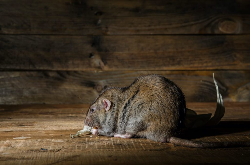 How to Find Rat Burrows Around Your House