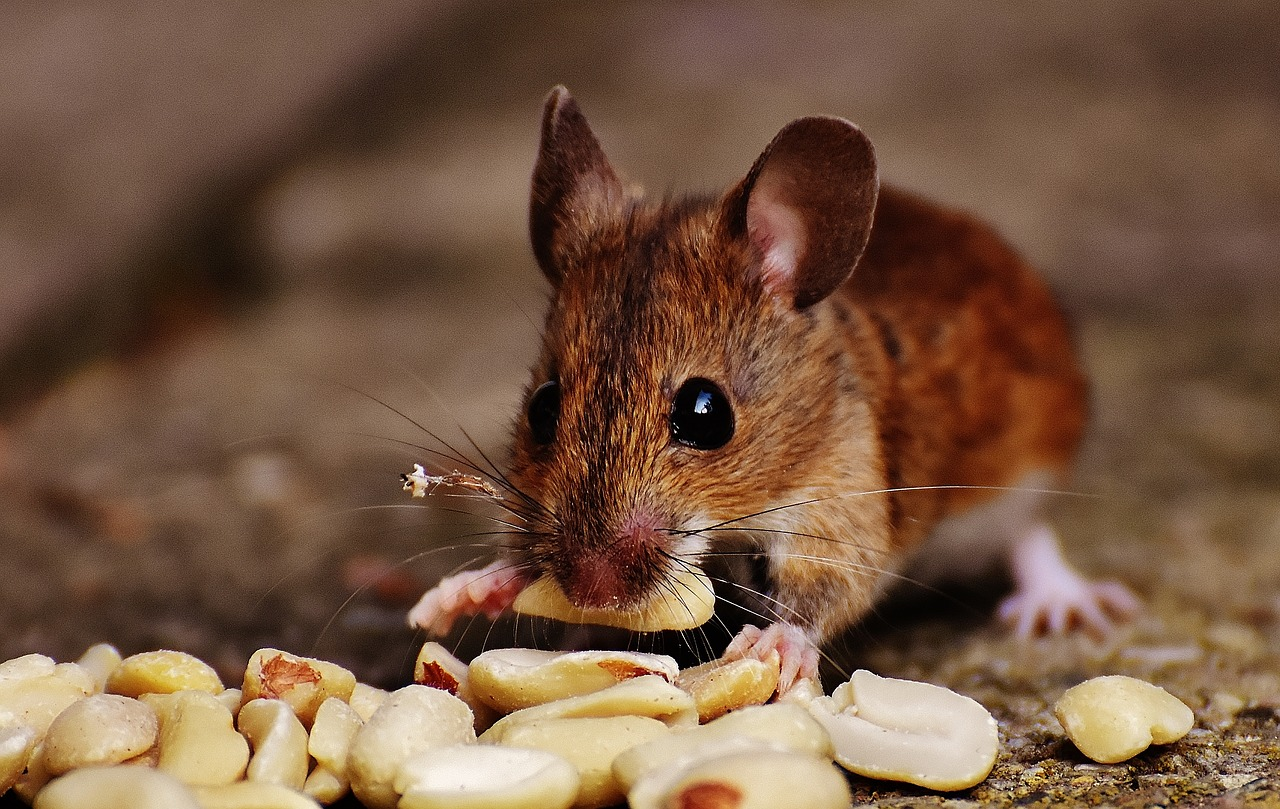 How to Get Rid of Mice Inside My Kitchen