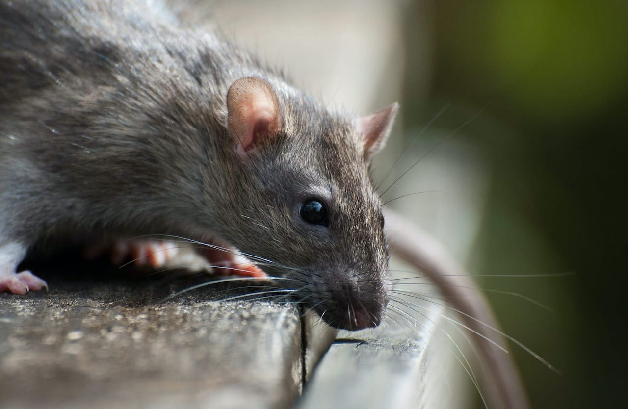 How to Prevent Rats from Making Nests on Your Property