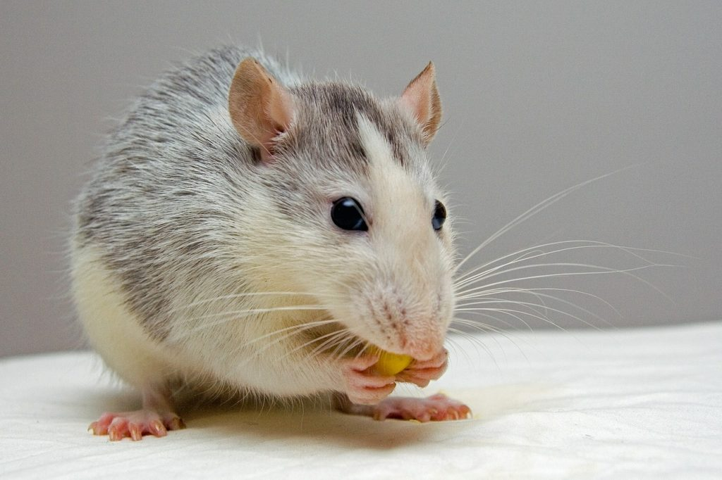 What Are Some Ways To Repel Rats from Your House?