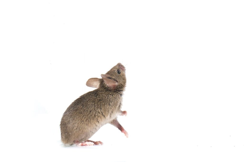 What Attracts Mice in Your House?