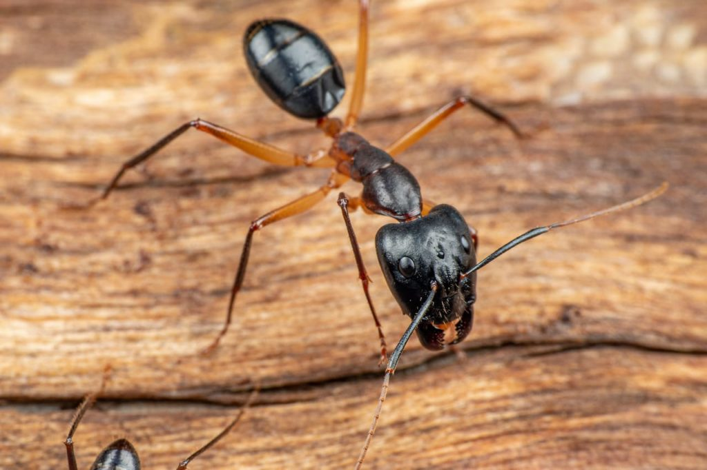 Do carpenter ants create many nests