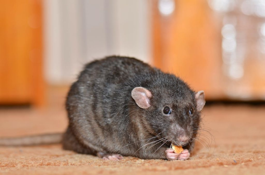 Why to Call a Professional Pest Control Company to Deal with Rats