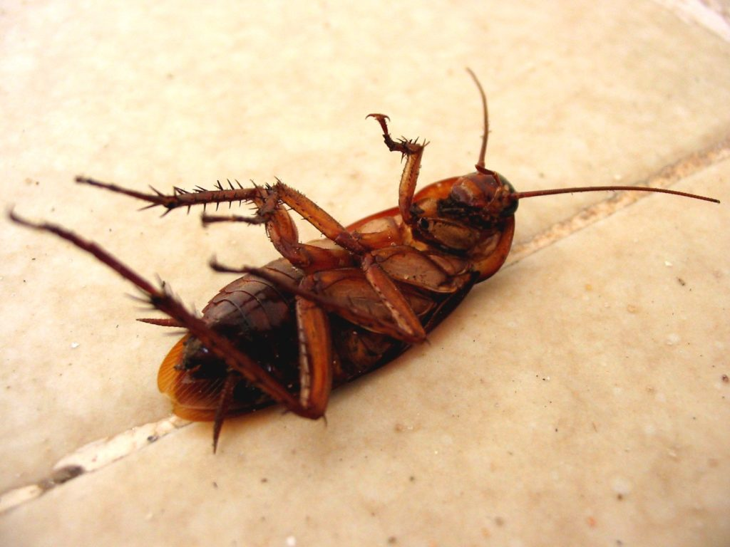 Cockroach Eggs - What Do Cockroach Eggs Look Like and What to Do About Them