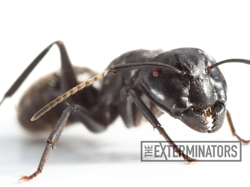How do you check your back yard for carpenter ants?