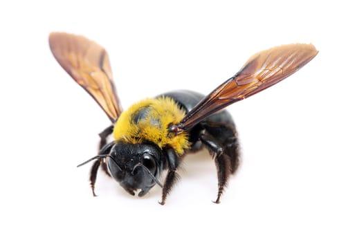 Carpenter Bee Facts & Control Methods