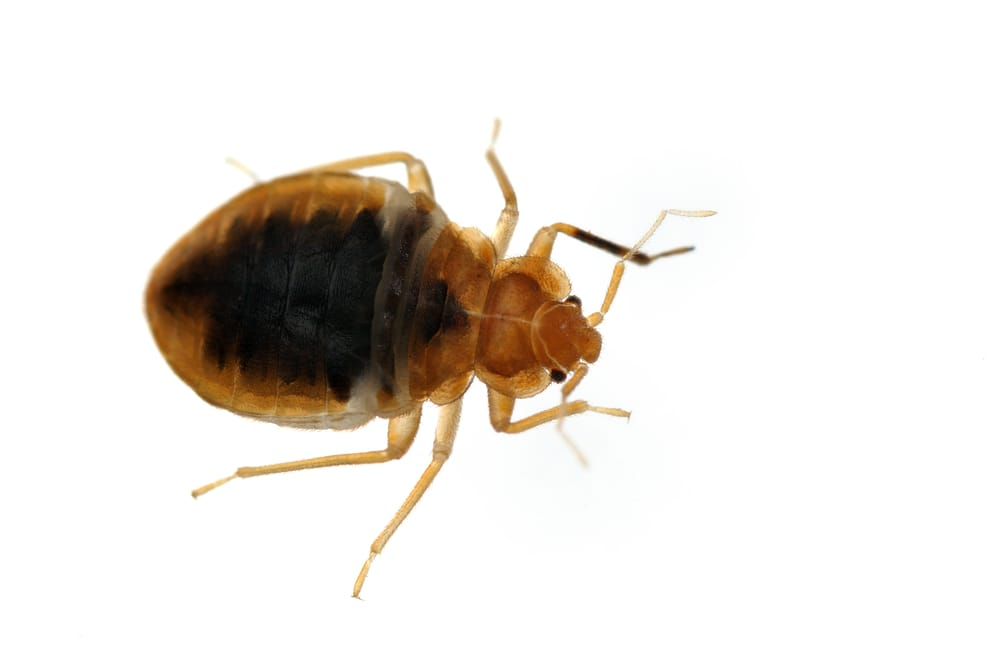 Can bed bug bites be mistaken for pimples or acne?