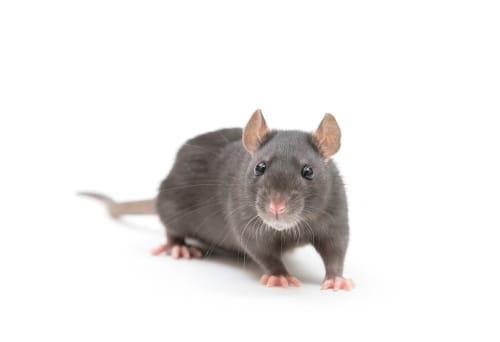 rat exterminator hamilton