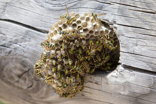 wasp nest removal hamilton
