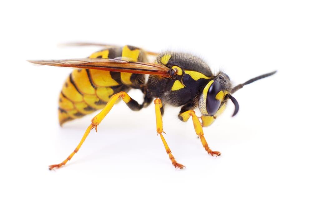 wasp removal Hamilton service