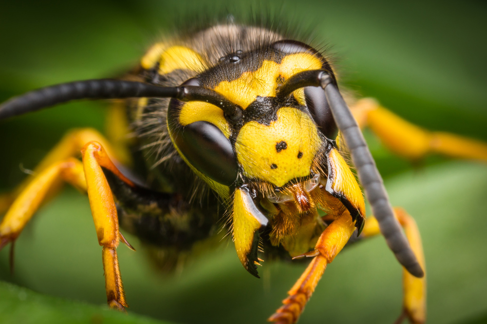 Do wasps have any natural predators