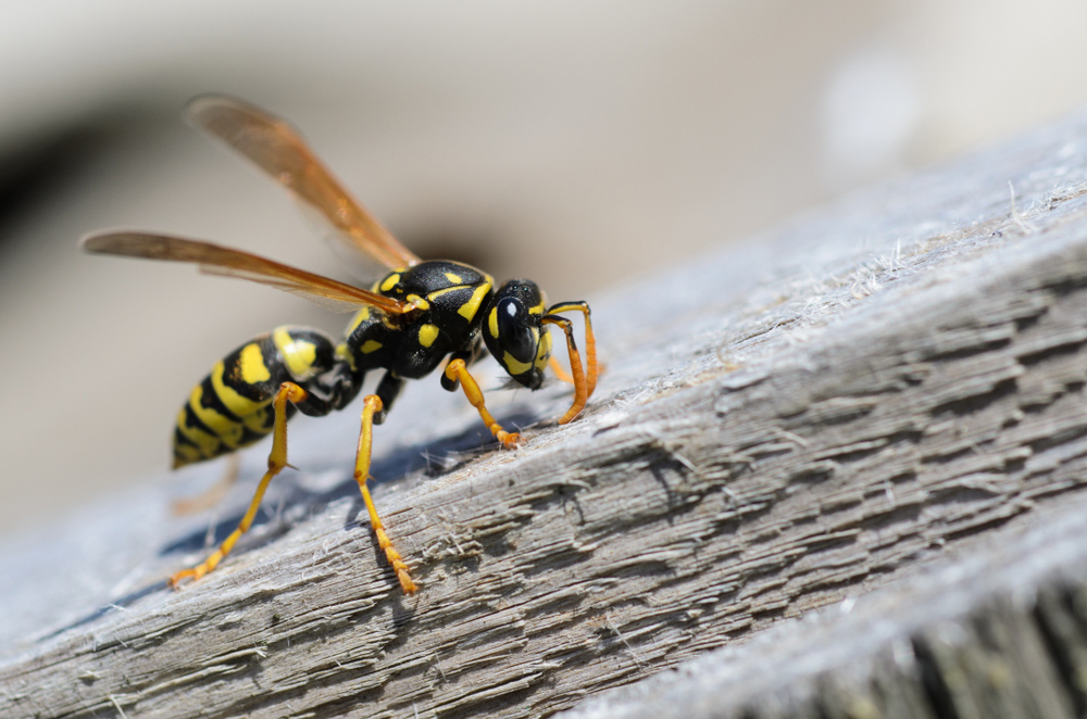How to get rid of wasps in the back yard