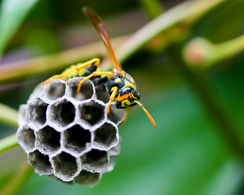 What are the dangers of destroying a wasp nest