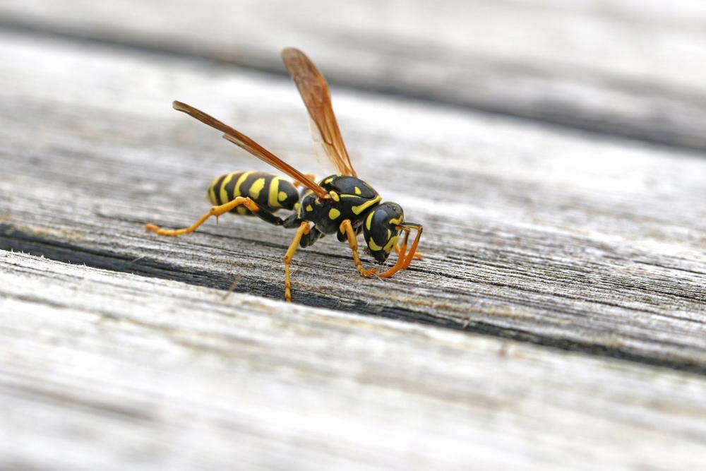 Natural wasp repellents