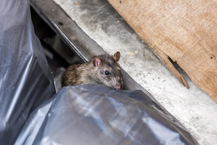 What infestation are you more unlikely to find in toronto, rats or mice?