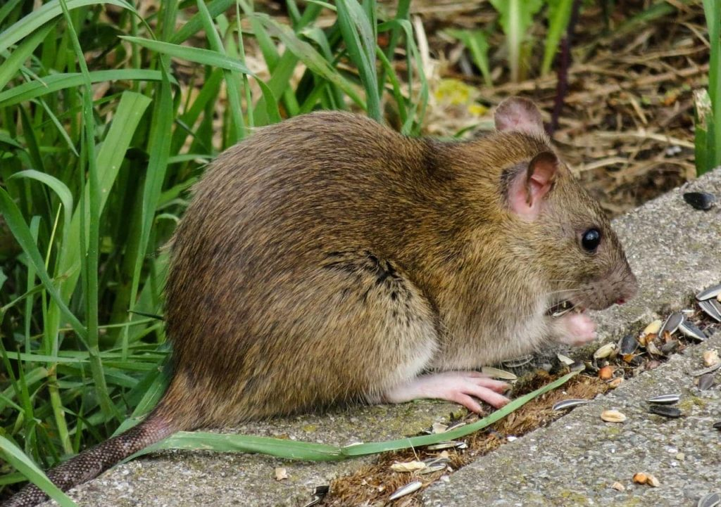 Whats the difference between a black rat and a brown rat?
