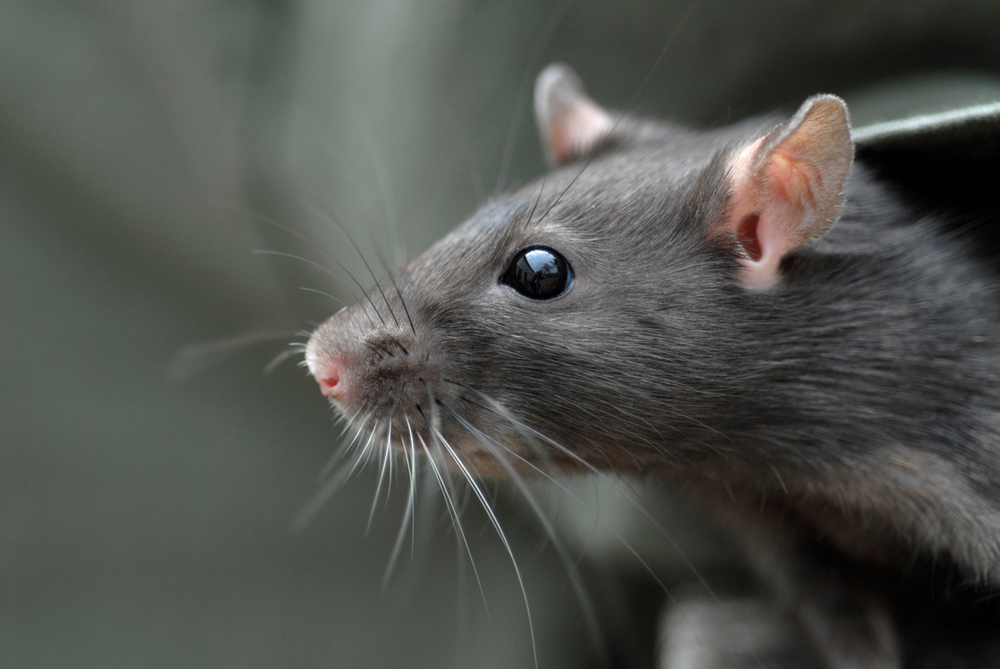 Do rats bring benefits when they enter a home?