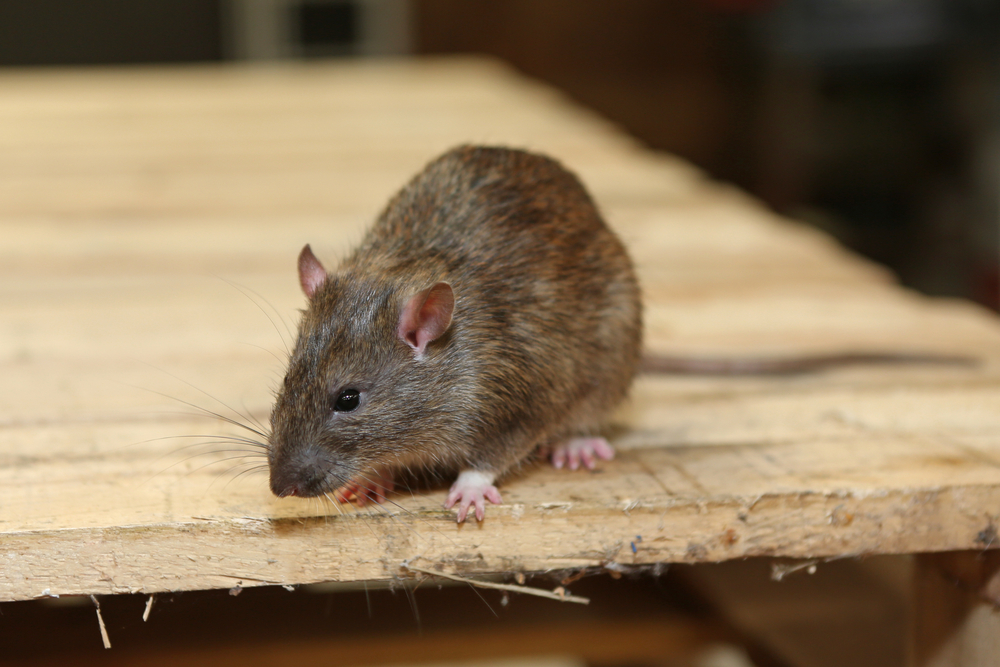 Does salt kill rats?
