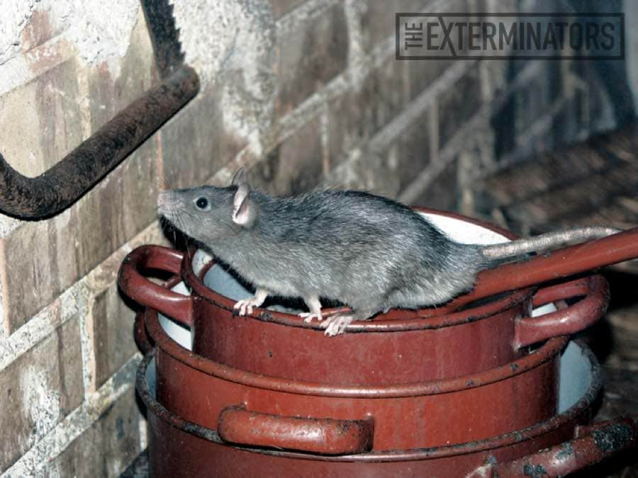 Where do house mice come from before invading a house?