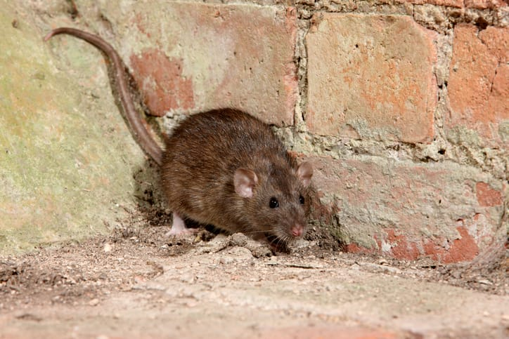 Why do rats chew electrical wiring?
