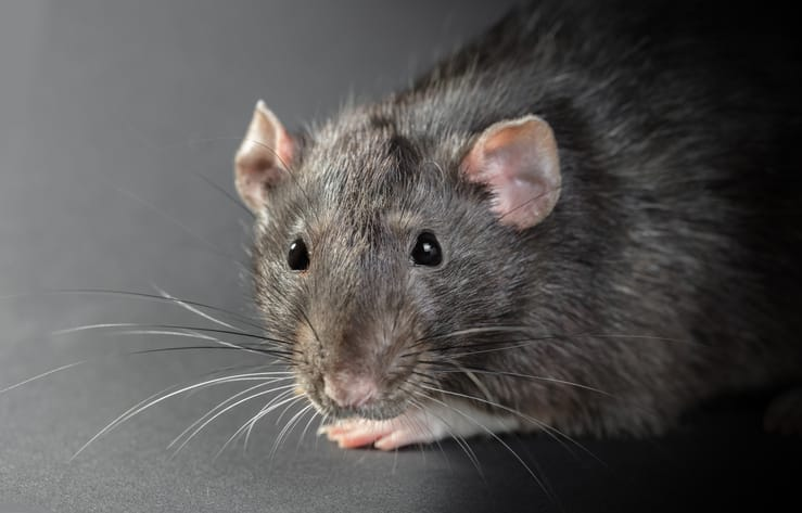 Would it be possible to see rat hair shedding in an infestation?