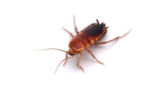 Cockroach-Pest-Control-Hamilton