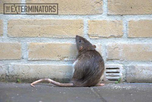 rat-removal-hamilton