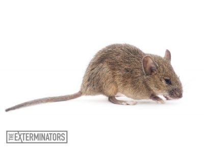 rodent-extermination-hamilton